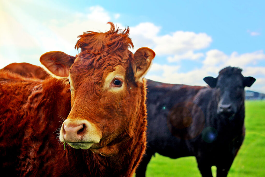 Cows in field, grass-fed meat